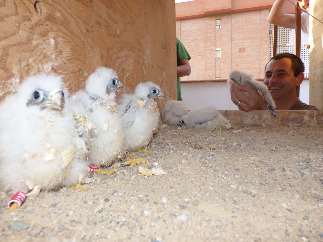 Pollos de cernícalo Primilla