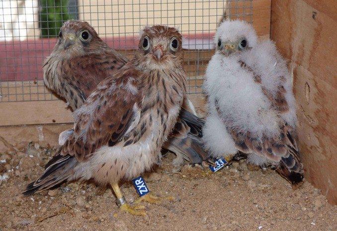 Pollos de cernícalo primilla criados en cautividad y reintroducidos por GREFA. Foto: GREFA